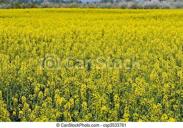 canola field - csp3533761