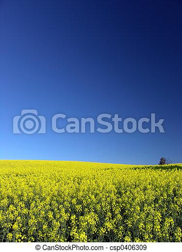 Canola Field - csp0406309