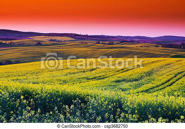 Canola field - csp3682750