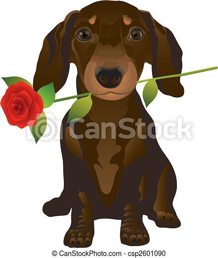 dachshund - csp2601090