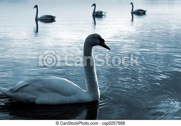 Family of swans - csp0257688
