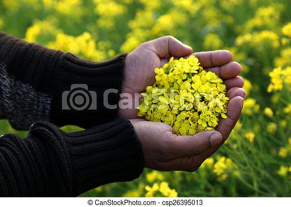 Hand holding mustard flower - csp26395013