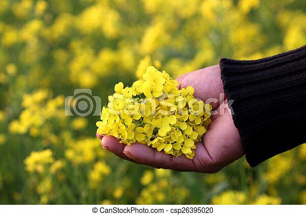 Hand holding mustard flower - csp26395020