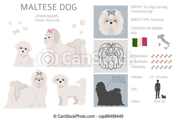 Maltese dog isolated on white. Characteristic, color varieties, temperament info. Dogs infographic collection - csp88498449