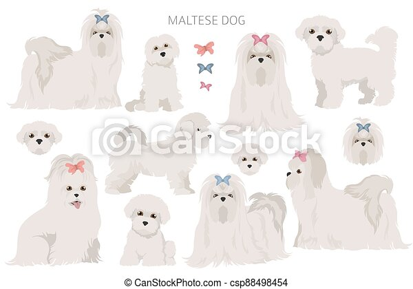 Maltese dogs in different poses. Adult and great dane puppy set - csp88498454
