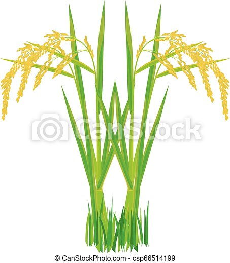 rice plant on white background vector design - csp66514199