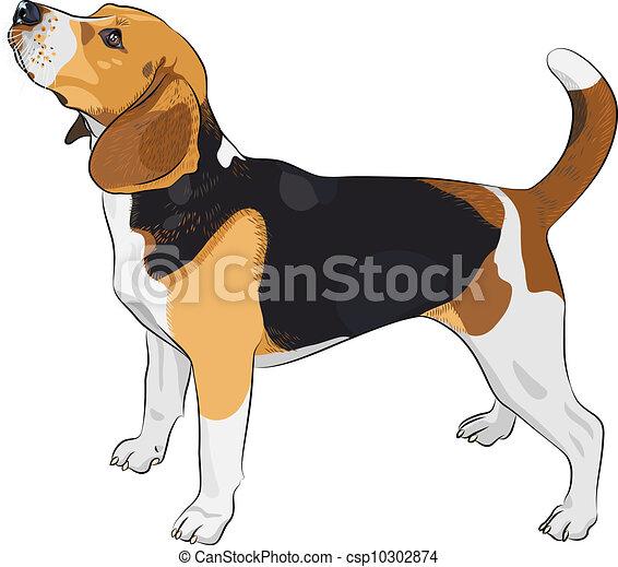 vector sketch dog Beagle breed - csp10302874