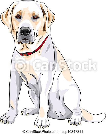 vector sketch yellow dog breed Labrador Retriever sitting - csp10347311
